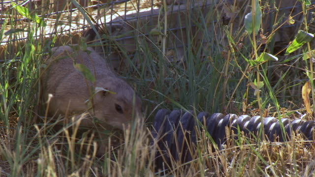 cu shot of prairie dog looking around outside at us fish and wildlife national black footed ferret conservation center / fort collins, colorado, united states - wildlife conservation stock videos & royalty-free footage