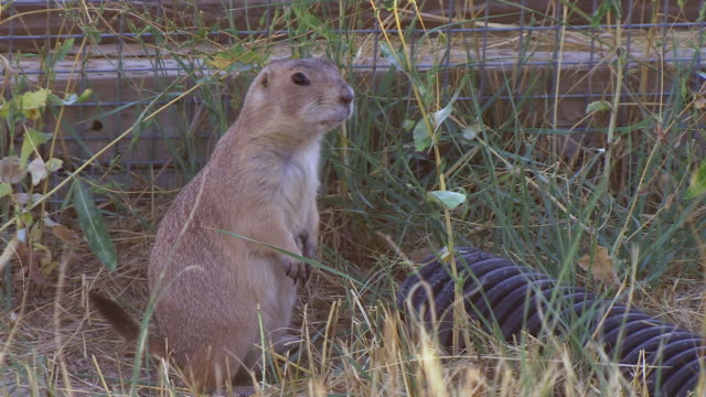 ms shot of prairie dog looking around wildlife national black footed black footed ferret conservation center / fort collins, colorado, united states - wildlife conservation stock videos & royalty-free footage