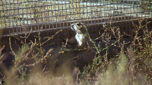 ms shot of prairie dog looking through fence outside at us fish and wildlife national black footed ferret conservation center / fort collins, colorado, united states - wildlife conservation stock videos & royalty-free footage