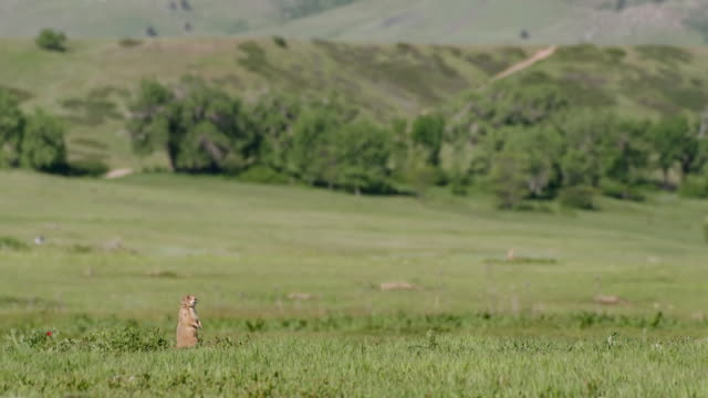 WS Shot of Prairie Dog on hill / Boulder, Colarado, United States