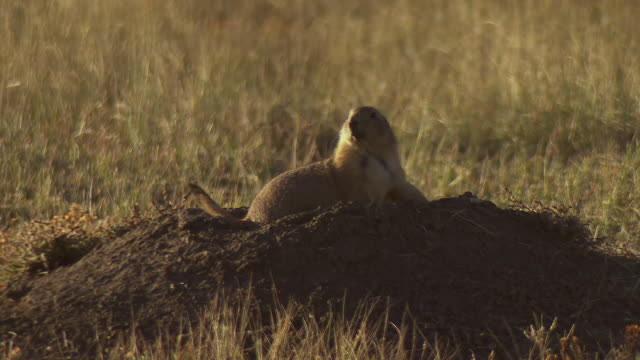 ms shot of prairie dog sits on top of mound at tunnel hole / fort collins, colorado, united states - roditore video stock e b–roll