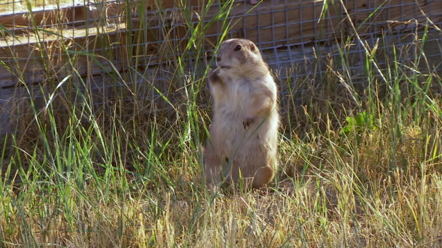 ms zi shot of prairie dog standing on back feet and looking around at wildlife national black footed black footed ferret conservation center / fort collins, colorado, united states - wildlife conservation stock videos & royalty-free footage