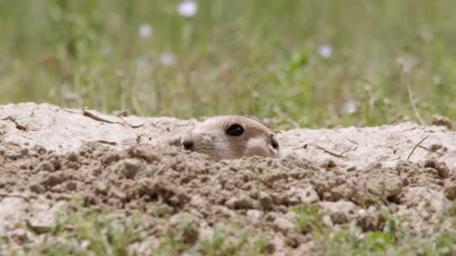 CU Shot of Prairie Dog with head sticking outside burrow / Boulder, Colarado, United States
