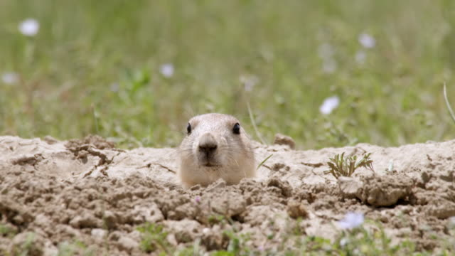 CU PAN Shot of Prairie Dog with head sticking outside burrow Turning head / Boulder, Colarado, United States