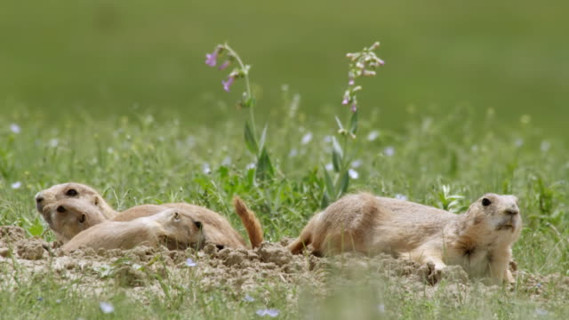 MS Shot of Prairie Dogs lying in burrow with baby Prairie Dogs / Boulder, Colarado, United States