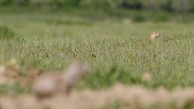 MS R/F Shot of Prairie Dogs sat on hill / Boulder, Colarado, United States