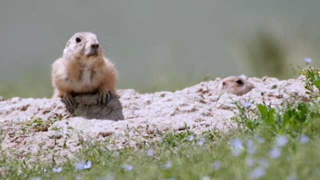 ms zi shot of prairie dogs sat on hill looking around / boulder, colarado, united states - prairie stock videos & royalty-free footage