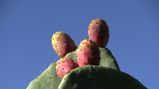 cu shot of prickly pears (genus opuntia) under blue sky / mallorca, spain - prickly pear cactus stock videos & royalty-free footage