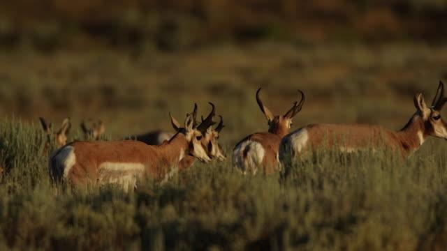 ms shot of pronghorn  (antilocapra americana) bucks walking through the sagebrush at sunrise - プロングホーン点の映像素材/bロール