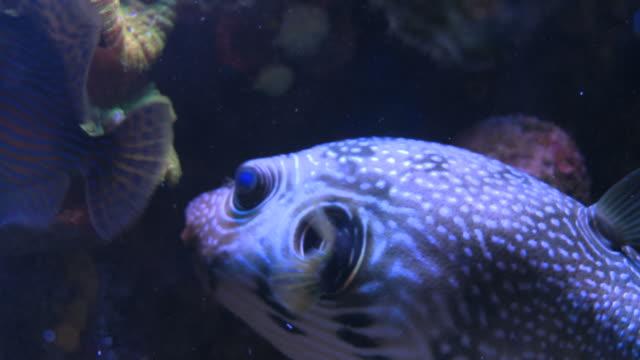 CU Shot of pufferfish (Tetraodontidae) swimming near coral, in aquarium / Eilat, Arava, Negev Desert, Israel