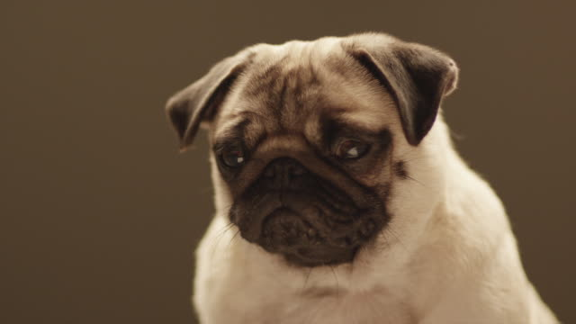 CU shot of pug head / Shepperton, Middlesex, United Kingdom