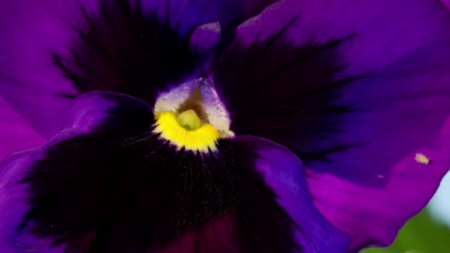 vidéos et rushes de cu t/l shot of purple pansy blooming / studio city, california, united states - violet