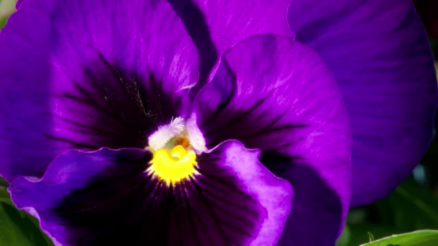 cu t/l shot of purple petunia blooming / studio city, california, united states - purple stock videos & royalty-free footage