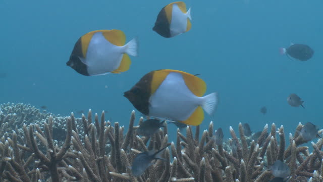 ms shot of pyramid butterfly fish and stag horn coral / sipadan, sabah, malaysia  - hemitaurichthys polylepis stock videos and b-roll footage