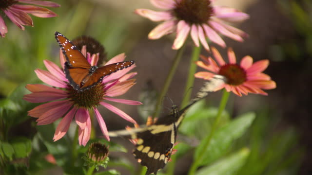 CU SLO MO Shot of Queen, orange butterfly and swallowtail butterfly feeding on pink daisy with swallowtail flying away / Santa Barbara, California, United States