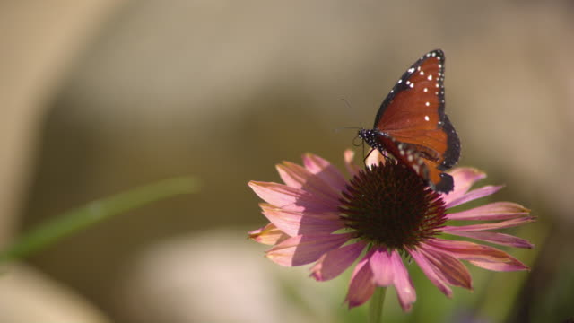 CU SLO MO Shot of Queen, orange butterfly flying away from pink daisy after feeding / Santa Barbara, California, United States