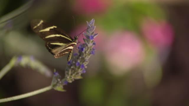 CU SLO MO Shot of Queen, orange butterfly on purple flower / Santa Barbara, California, United States