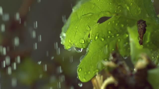 ECU SLO MO Shot of Rain falling on leaves of sessile oak tree Quercus petraea / Atlantic oak woods, Argyll and Bute, Scotland