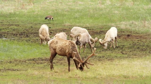 stockvideo's en b-roll-footage met ms shot of rams and elk grazing / estes park, colorado, united states  - estes park
