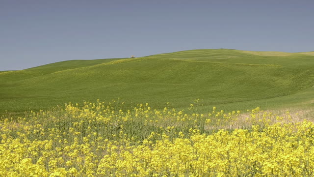 ws shot of rape field and green hills / pienza, tuscany, italy - valley stock videos & royalty-free footage