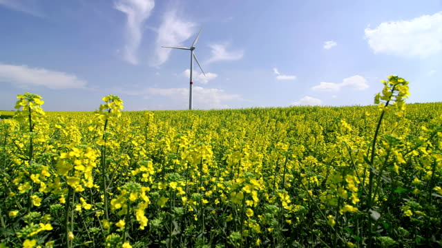 WS Shot of rapefield with wind engine (Brassica napus) / Merzkirchen, Rhineland-Palatinate, Germany