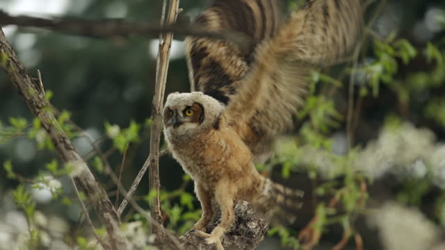 MS TS shot of recently fledged great horned owlet (Bubo virginianus) flapping wings and jumping on a tree limb