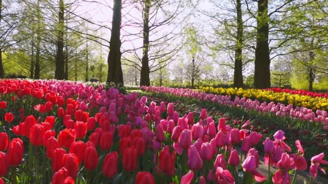 vidéos et rushes de ms shot of red and pink color tulip fields at keukenhof gardens / lisse, south holland, netherlands - parterre de fleurs