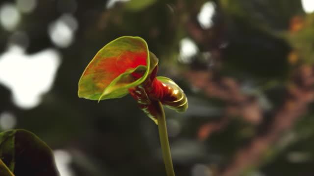 CU T/L Shot of red anthurium flower blossoming / Studio City, California, United States