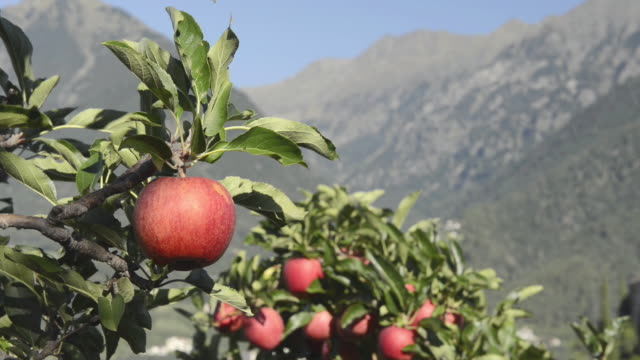 ms shot of red apples hanging on tree in apple orchard / merano, trentino, tyrol, italy - apple orchard stock videos & royalty-free footage