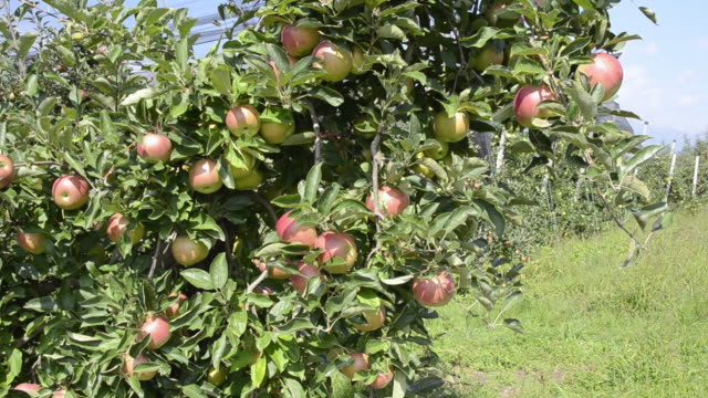 ms tu shot of red apples hanging on tree in apple orchard / merano, trentino, tyrol, italy - orchard stock videos and b-roll footage