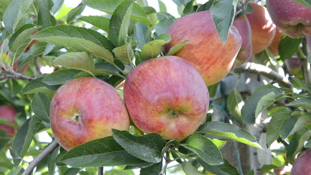 cu shot of red apples on tree / merano, trentino, tyrol, italy - fruit tree stock videos & royalty-free footage