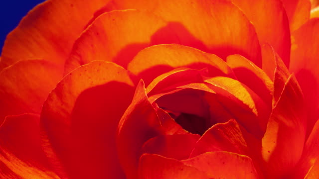 ECU T/L Shot of red camellia flower petals blooming against blue background / Studio City, California, United States