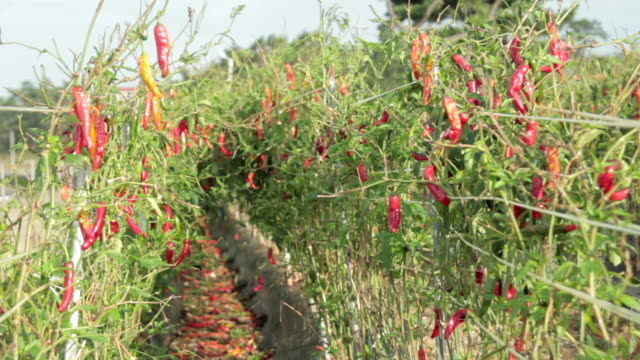 shot of red chili pepper at vegetable garden - peperoncino video stock e b–roll