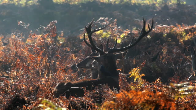 ms shot of red deer relaxing in autumn mist / london, united kingdom - richmond upon thames stock-videos und b-roll-filmmaterial