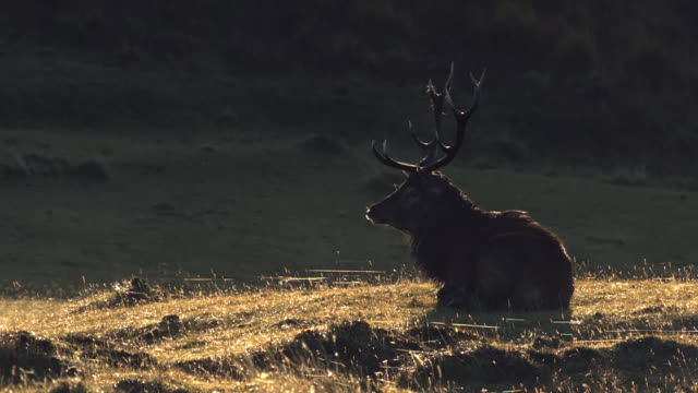 MS SLO MO Shot of Red deer stag Cervus elaphus lying down exhausted and roaring with breath backlit / Isle of Rum, Hebrides, Scotland