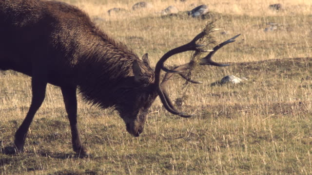 ms slo mo ts shot of red deer stag, cervus elaphus, standing with bracken on his antlers lowers his head and paws ground / isle of rum, hebrides, scotland - hebrides stock videos & royalty-free footage
