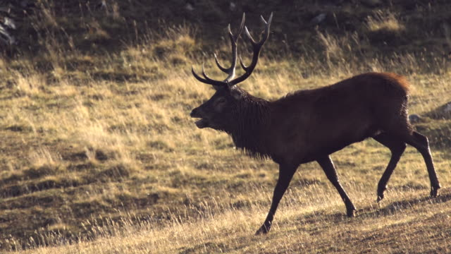MS SLO MO Shot of Red deer stag Cervus elaphus trotting down hill roaring / Isle of Rum, Hebrides, Scotland