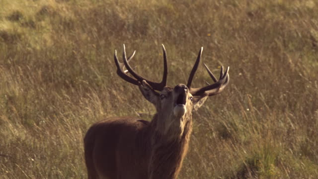 MS TU SLO MO TS Shot of Red deer stag Cervus elaphus walking, roaring / Isle of Rum, Hebrides, Scotland