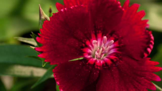 CU T/L Shot of red flower blossoming / Studio City, California, United States