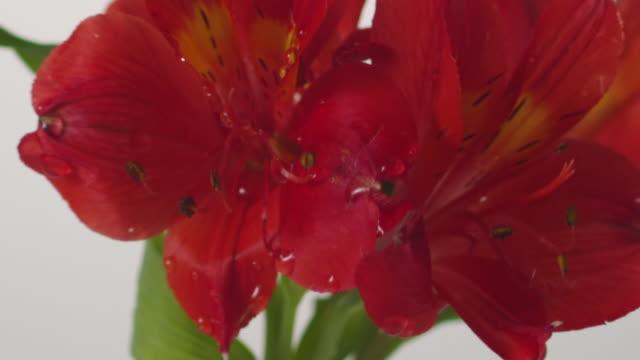 vidéos et rushes de ecu tu slo mo shot of red flower / toronto, ontario, canada  - étamine