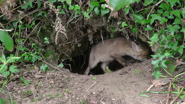 ms shot of red fo cub playing at den entrance / calvados, normandy, france - calvados stock-videos und b-roll-filmmaterial