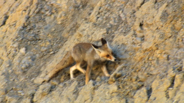 MS TS Shot of red fox (vulpes) climbing on steep slope in desert / side boker, Negev Desert, Israel