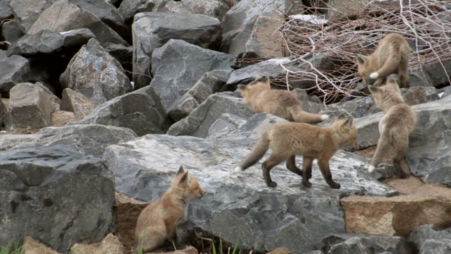 MS Shot of red fox kits playing outside den / Boulder, Colorado, United States
