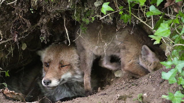 MS ZI ZO Shot of red fox  mother and cub sitting at Den entrance / Calvados, Normandy, France