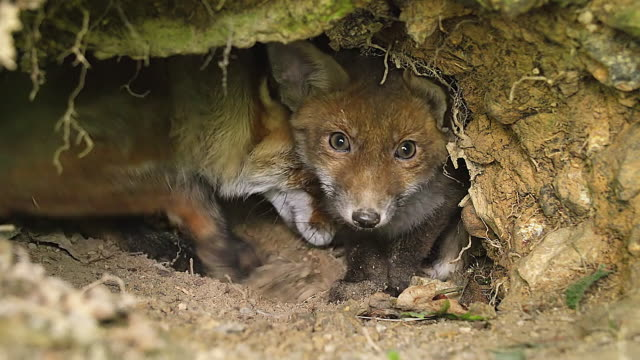 cu shot of red fox (vulpes vulpes) mother and cub standing at den entrance / calvados, normandy, france - höhle stock-videos und b-roll-filmmaterial