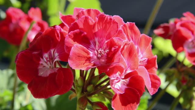 CU Shot of Red Geranium flower ( Pelargonium ) / Landshut, Bavaria, Germany