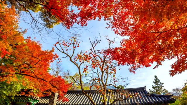 vídeos de stock, filmes e b-roll de shot of red maple and a persimmon tree at bulguksa temple - árvore tropical