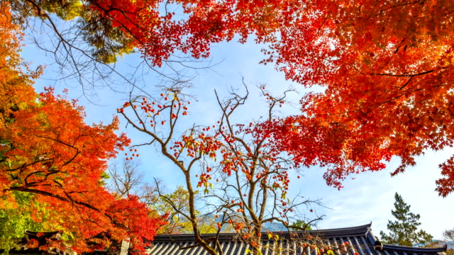 Shot of red maple and a persimmon tree at Bulguksa temple