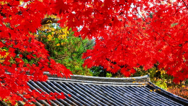 Shot of red maple and roof at Bulguksa temple
