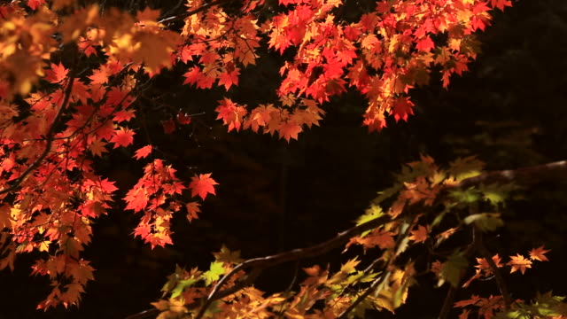 Shot of red maple tree at Suryeomdong Valley in Mt.Seoraksan